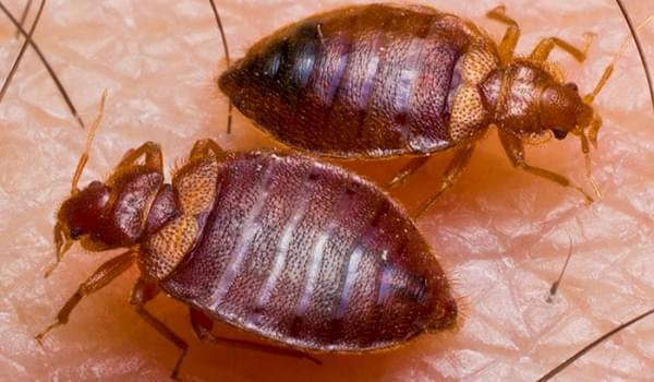 Cảnh báo nguy cơ mắc bệnh nguy hiểm do rệp mang lại
