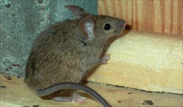 Đặc điểm sinh học của loài chuột nhắt