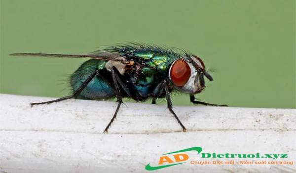 Dịch vụ diệt ruồi giá rẻ tại Ánh Dương Hà Nội
