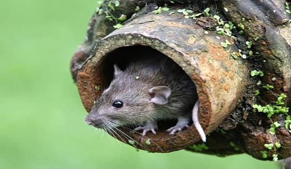 Làm thế nào để diệt chuột cống hiệu quả