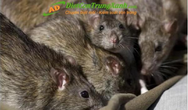 Mẹo diệt chuột hiệu quả không phải ai cũng biết?