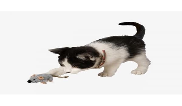 Những bước cơ bản huấn luyện mèo bắt chuột giỏi